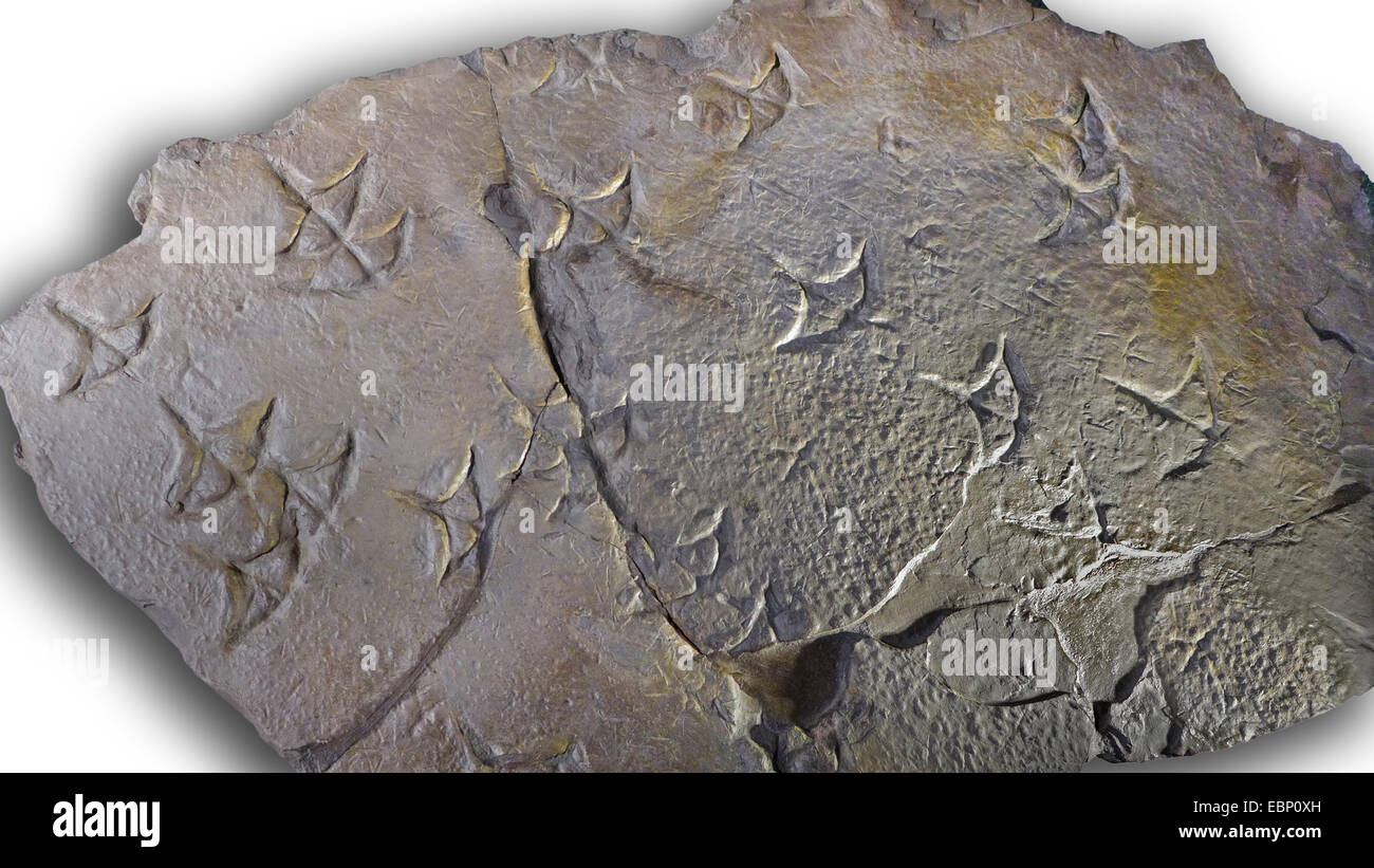 footprint of flamingo-like birds from Paleogene (35-25 million years), location Spain - Stock Image