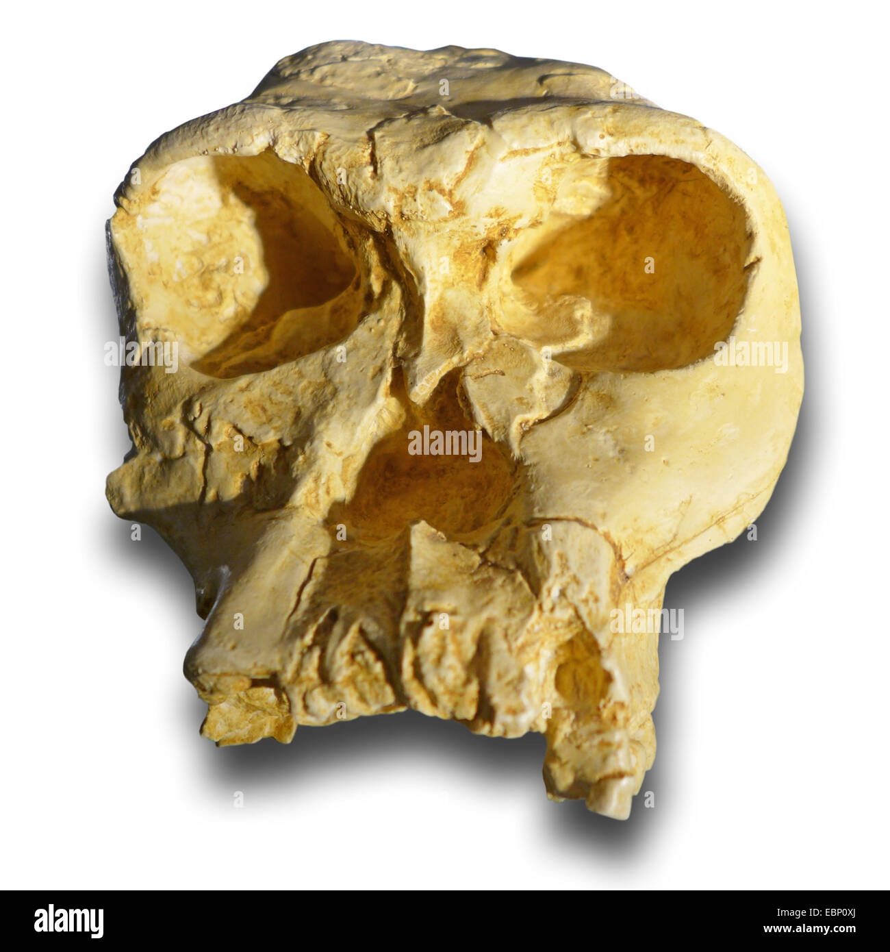 Handy man (Homo habilis), skull of a prehistoric human beeing from neogene (25-2,5 million years), location Africa - Stock Image