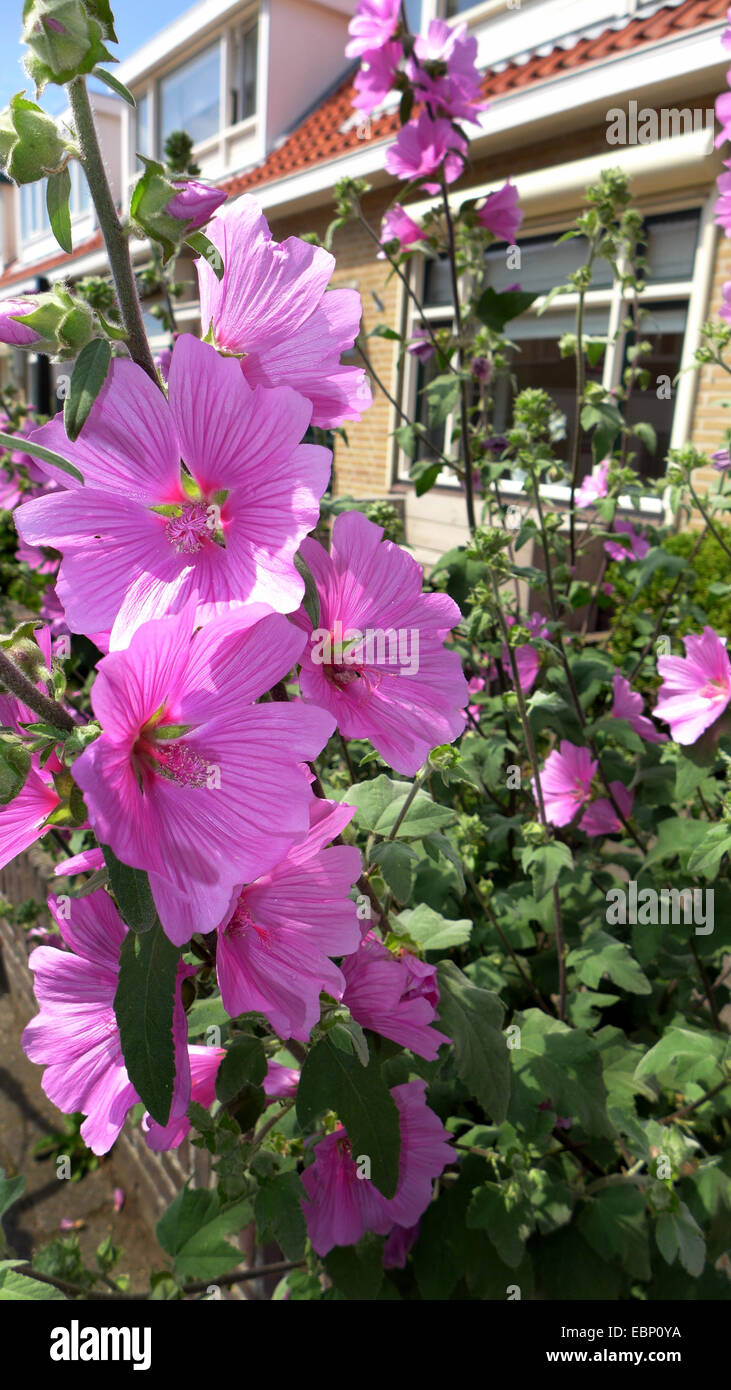 Bush mallow, bush mallow (Lavatera olbia), blooming in a frontgarden Stock Photo