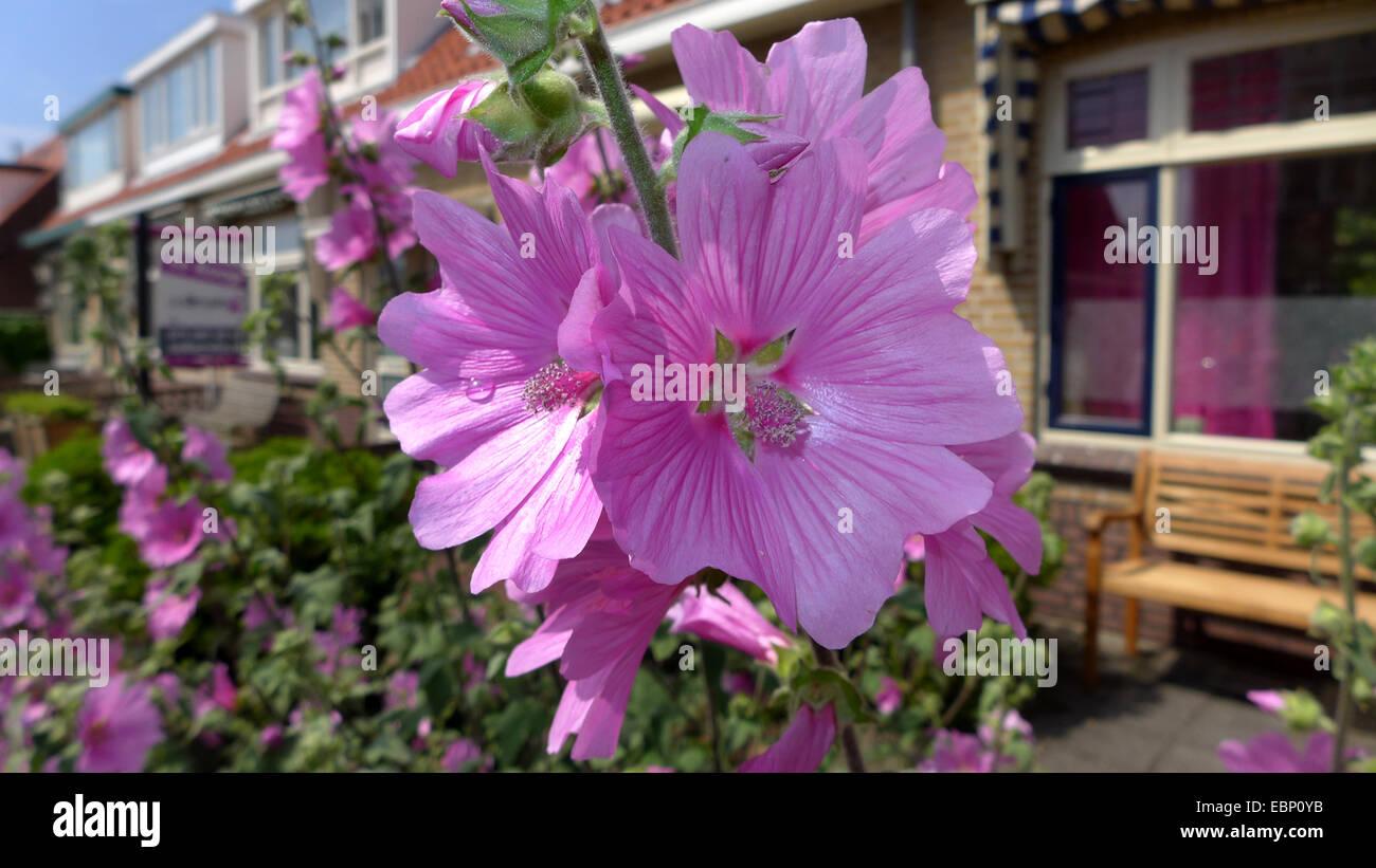 Bush mallow, bush mallow (Lavatera olbia), blooming in a frontgarden - Stock Image
