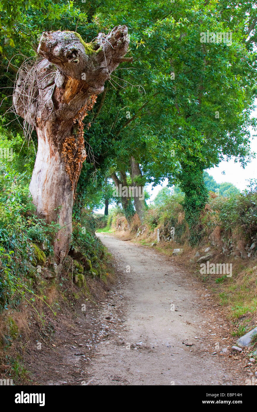 Way of St. James, hollow-way with dead tree on the way from Lavandeira to Brea, Spain, Galicia, Lugo - Stock Image