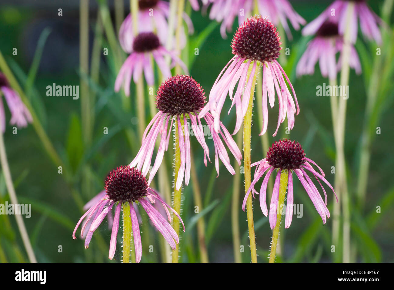 Narrowleaf coneflower, Narrow-leaved purple coneflower, Blacksamson echinacea (Echinacea angustifolia, Brauneria - Stock Image