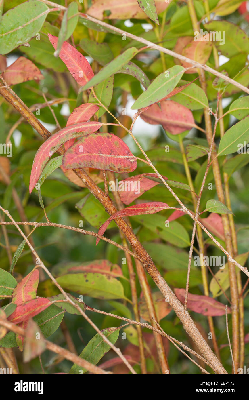 Longbeak eucalyptus, river redgum, river red gum (Eucalyptus camaldulensis), branch - Stock Image