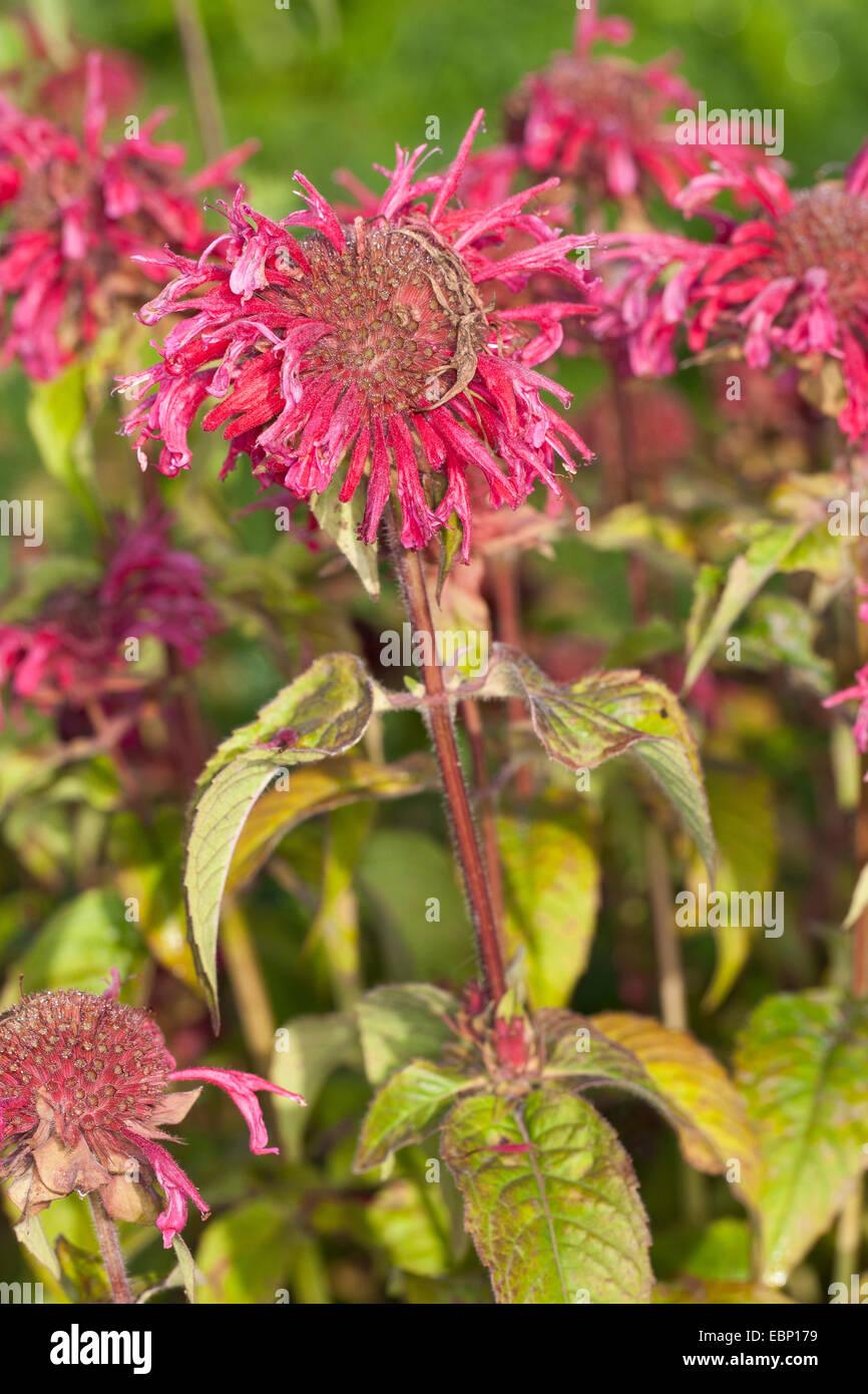 Bee Balm, Oswego Tea, Bergamot, Scarlet Beebalm, Scarlet Monarda, Crimson Beebalm (Monarda didyma), blooming - Stock Image