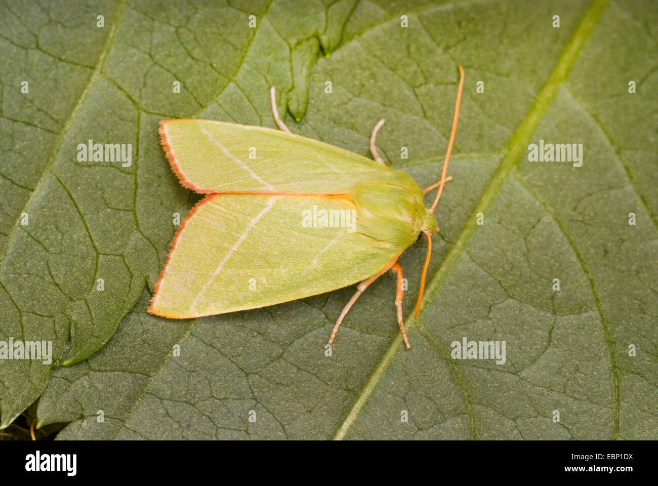 Scarce Silver-lines (Bena bicolorana), sitting on a leaf, Germany - Stock Image