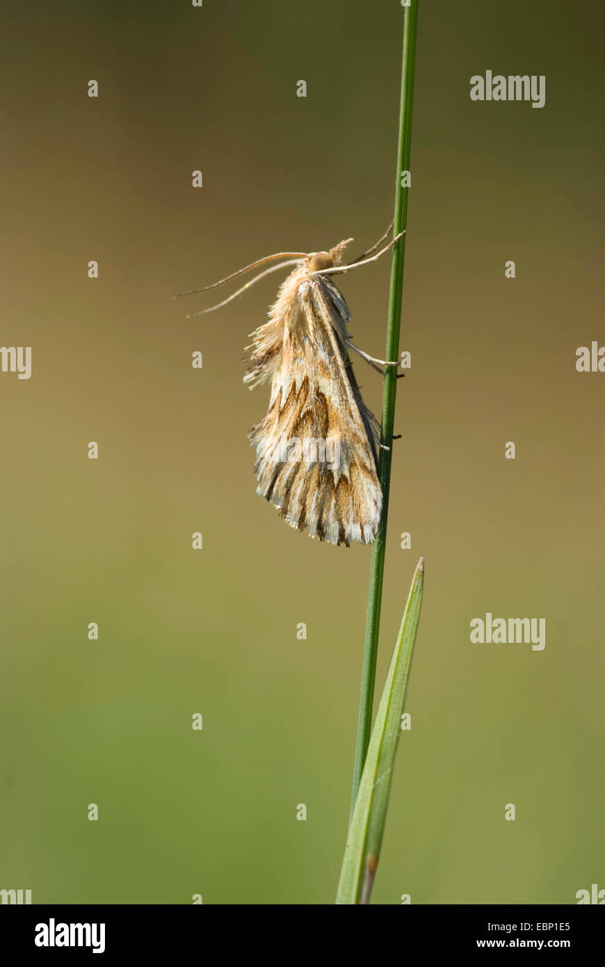 Cynaeda dentalis (Cynaeda dentalis), at a blade of grass, Germany - Stock Image