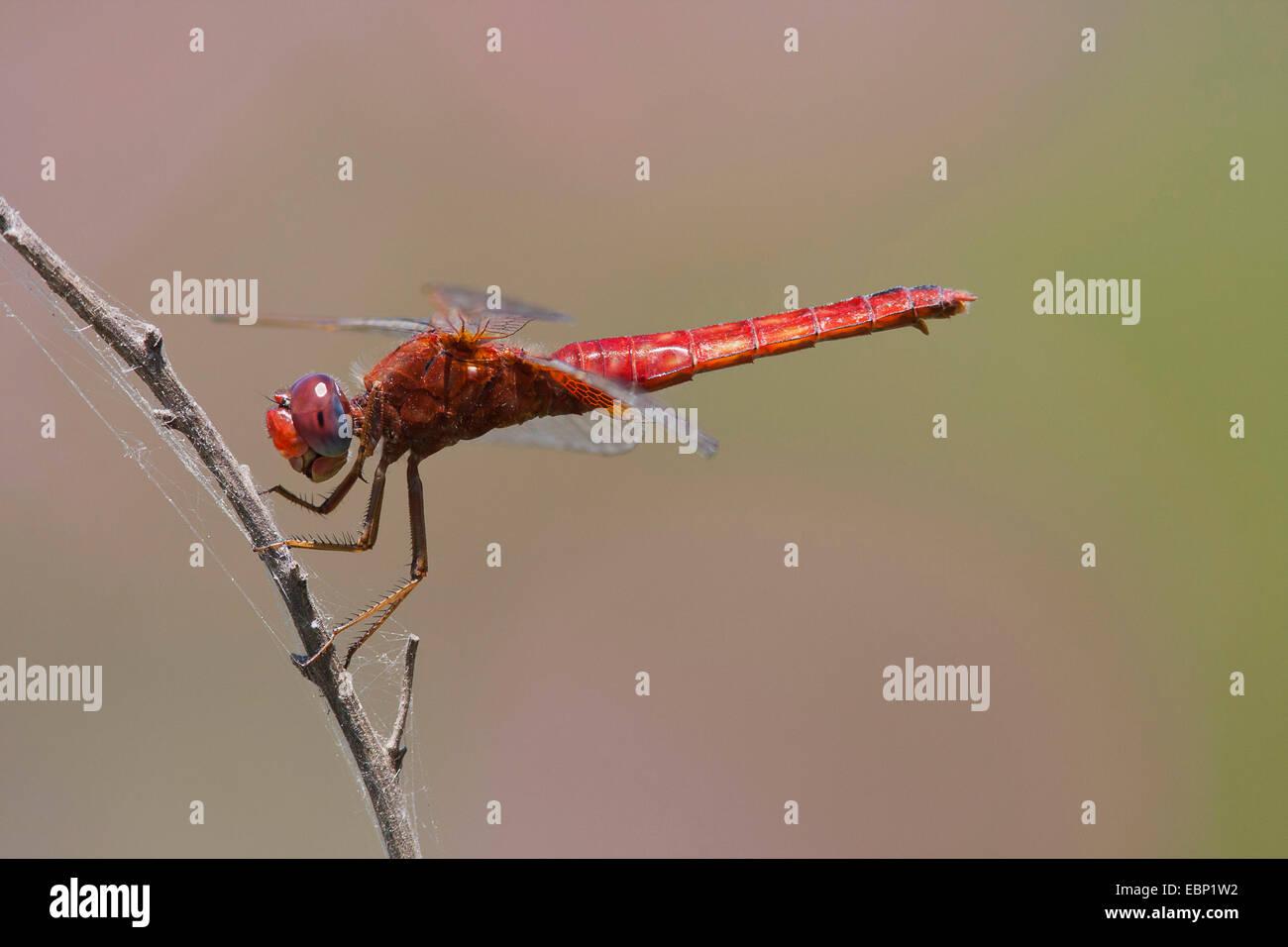 Broad Scarlet, Common Scarlet-darter, Scarlet Darter, Scarlet Dragonfly (Crocothemis erythraea, Croccothemis erythraea), Stock Photo