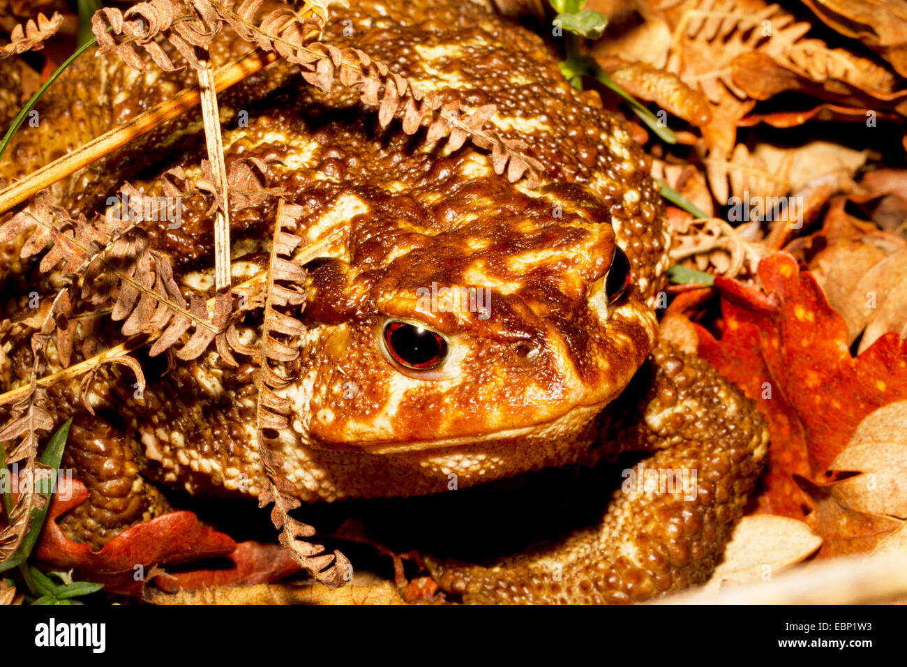 European common toad (Bufo bufo spinosus), toad under foliage, Portugal, Peneda-Geres National Park - Stock Image