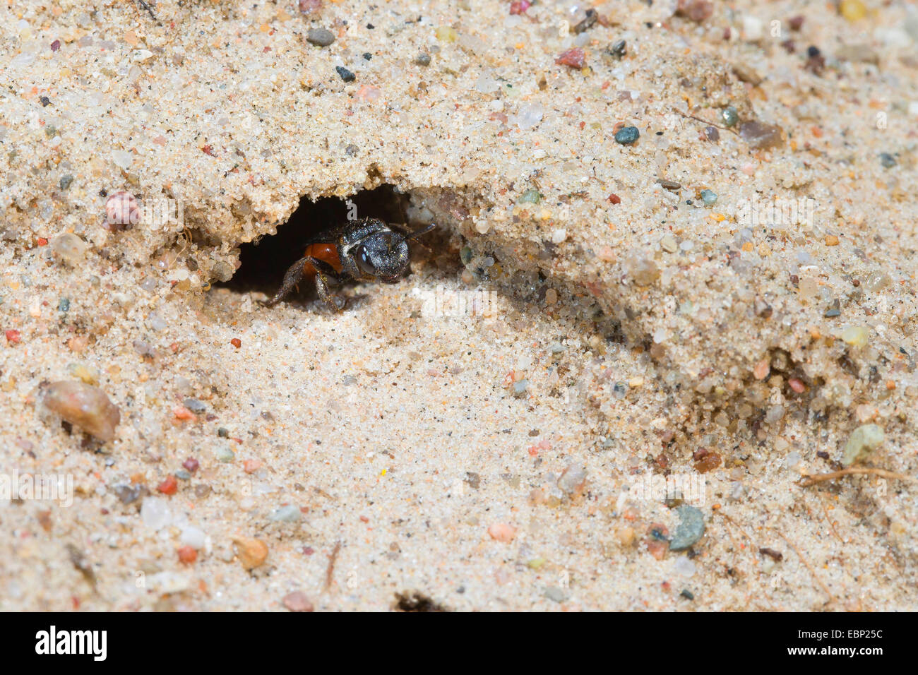 Sweat bee, Halictid Bee (Sphecodes albilabris, Sphecodes fuscipennis), in a burrow in the ground, Germany - Stock Image