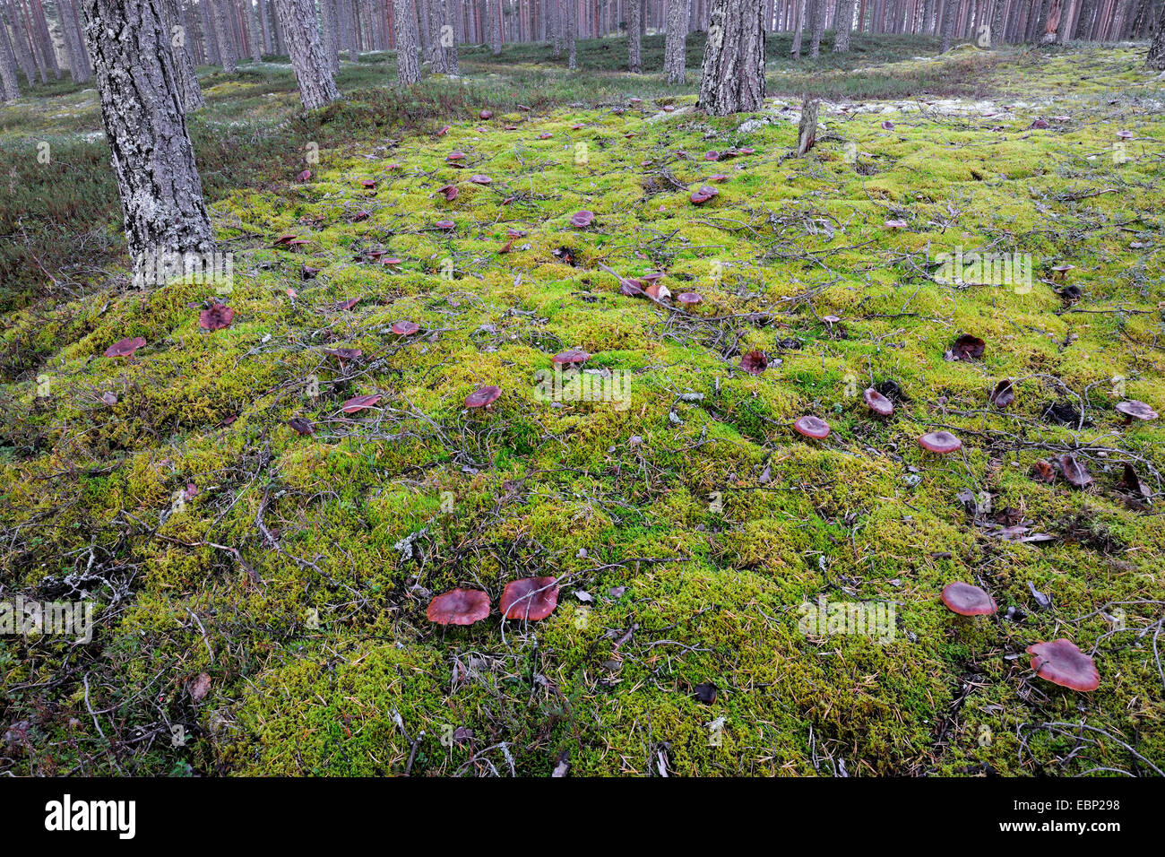 funnel (Clitocybe inversa), many funnels on mossy forest floor with heath and pines, Finland Stock Photo