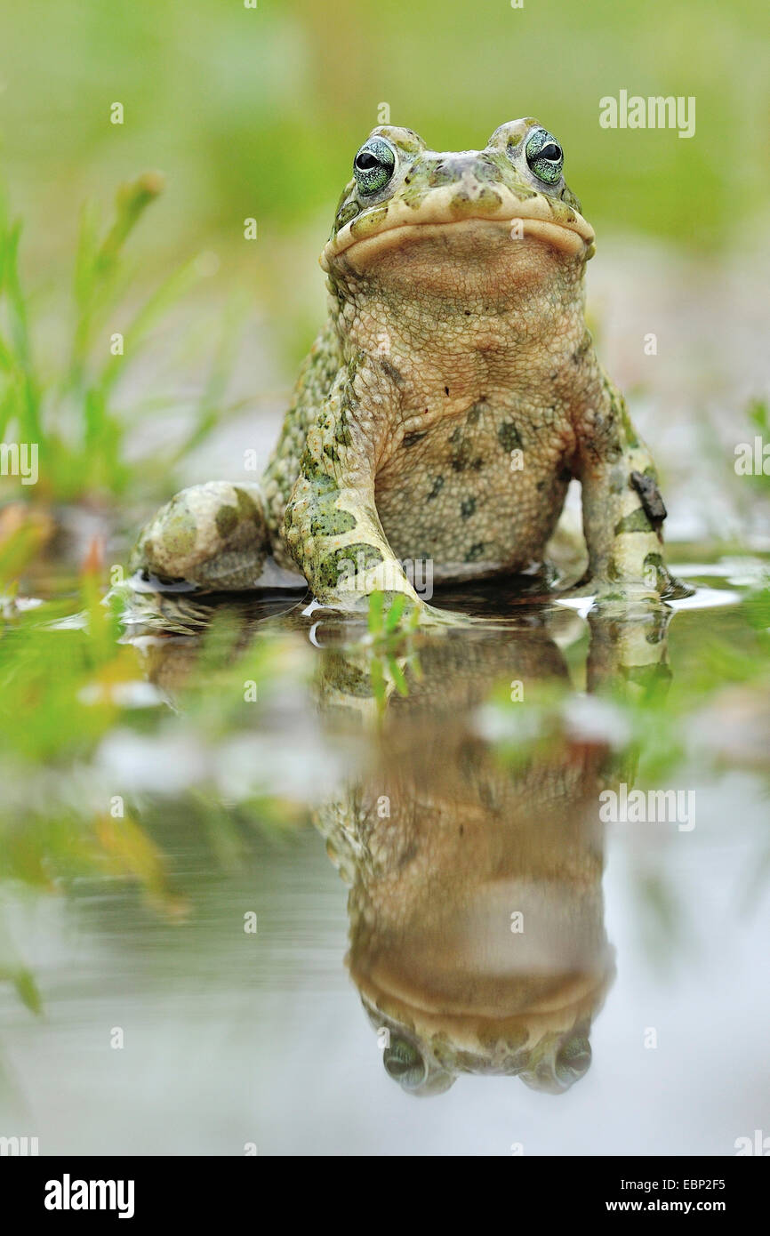 Green toad, Variegated toad (Bufo viridis), at lake side with mirrorimage, Germany Stock Photo