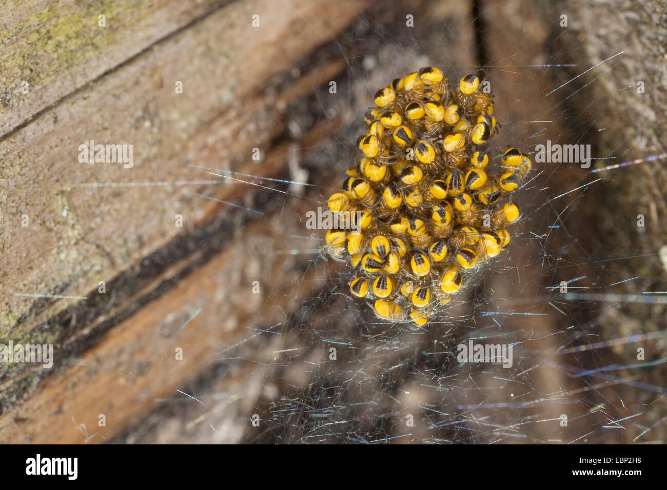 cross orbweaver, European garden spider, cross spider (Araneus diadematus), young spiders in a cocoon, Germany Stock Photo