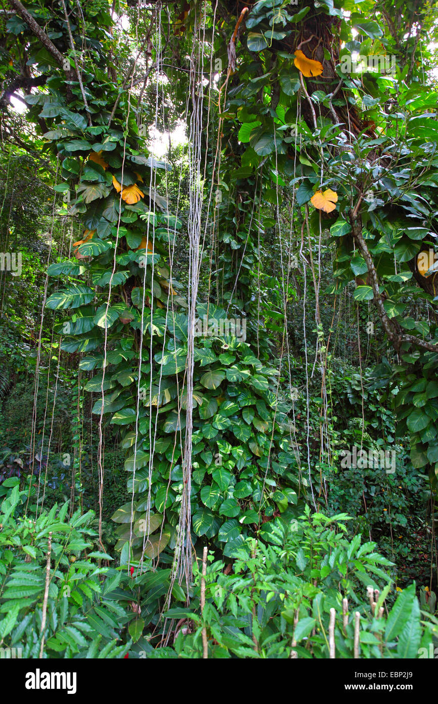 thicket with creeping plants and aerial roots, Seychelles, La Digue - Stock Image