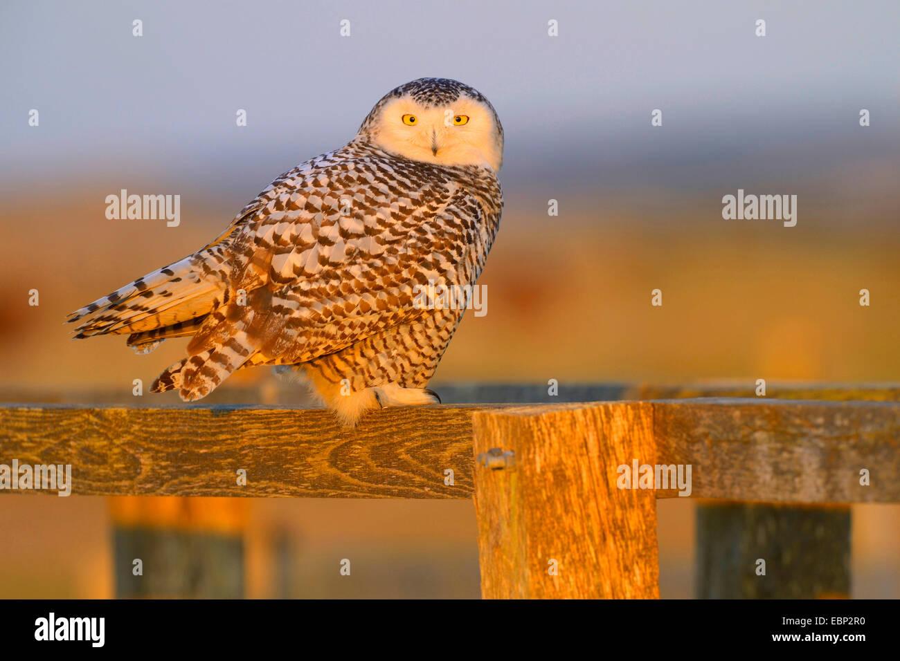 Snowy Owl (Strix scandiaca, Nyctea scandiaca, Bubo scandiacus), female resting on a wooden fence in evening light, - Stock Image