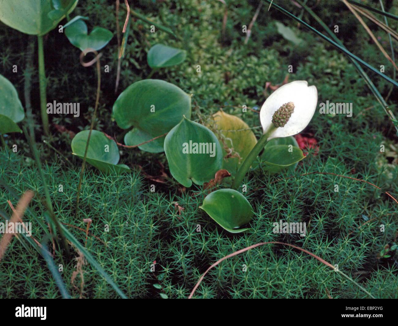 bog arum, wild calla (Calla palustris), blooming, Germany, North Rhine-Westphalia - Stock Image