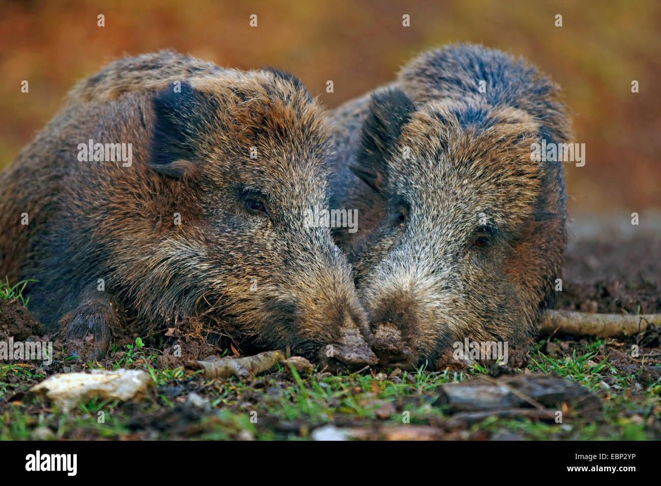 wild boar, pig, wild boar (Sus scrofa), two wild boars resting side by side, Germany, Baden-Wuerttemberg - Stock Image