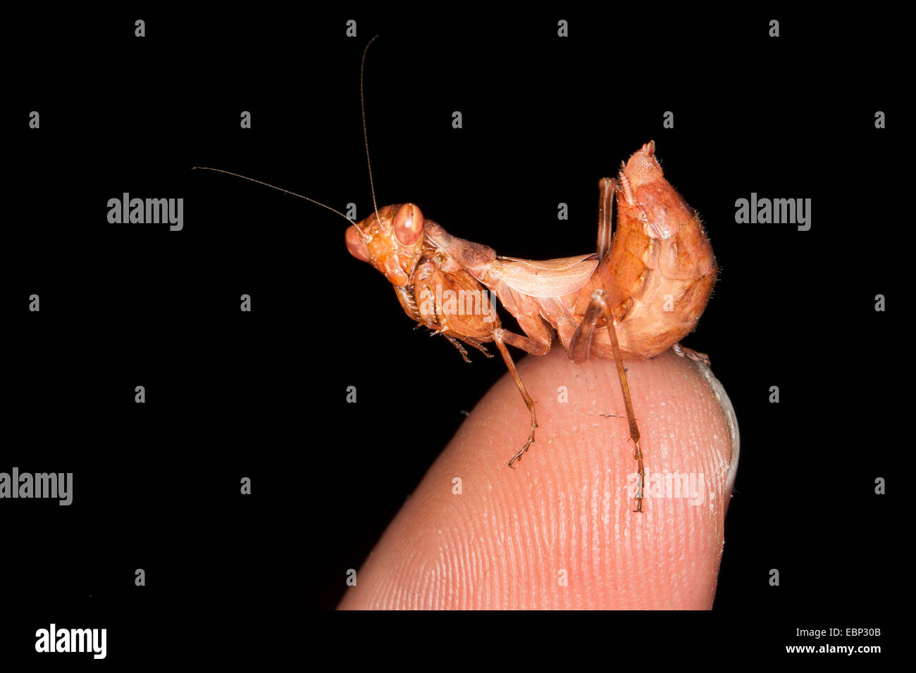 European Dwarf Mantis (Ameles spallanzania), female on human finger - Stock Image