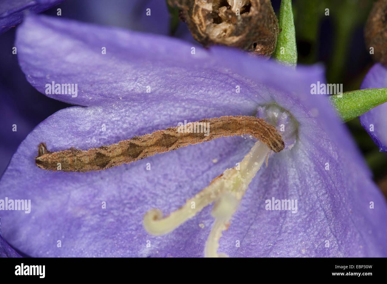 Wormwood Pug, pugs (Eupithecia cf. absinthiata, Phalaena cf. absinthiata, Tephroclystia cf. absinthiata), caterpillar - Stock Image
