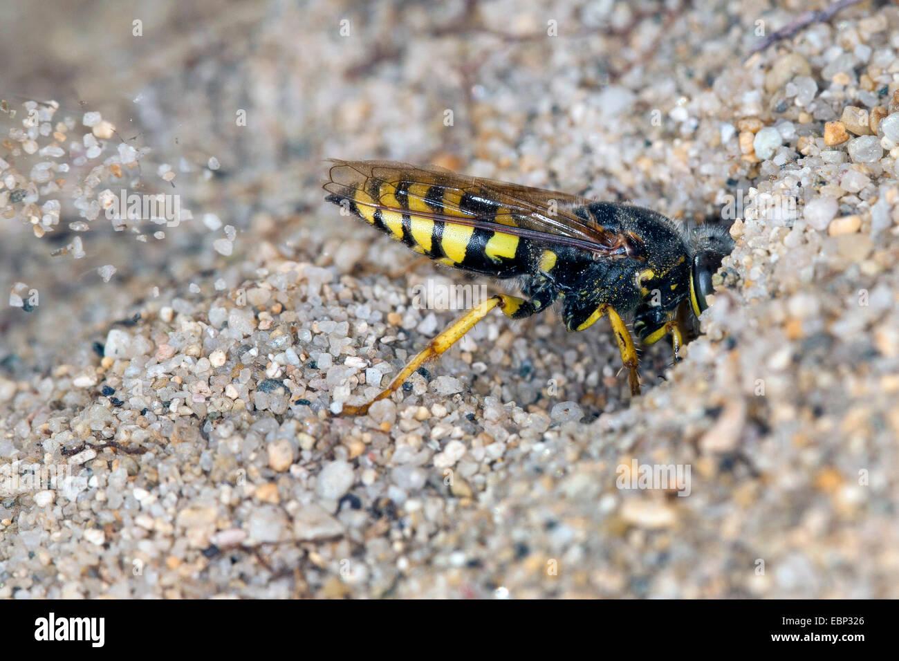 Sand wasp (Bembix oculata), digging sand out of  its den - Stock Image