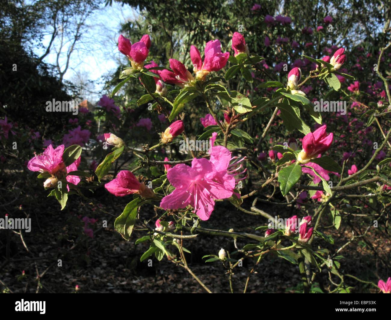 Chinese Alprose, Dahurian azalea (Rhododendron dauricum 'Ostara', Rhododendron dauricum Ostara), blooming - Stock Image