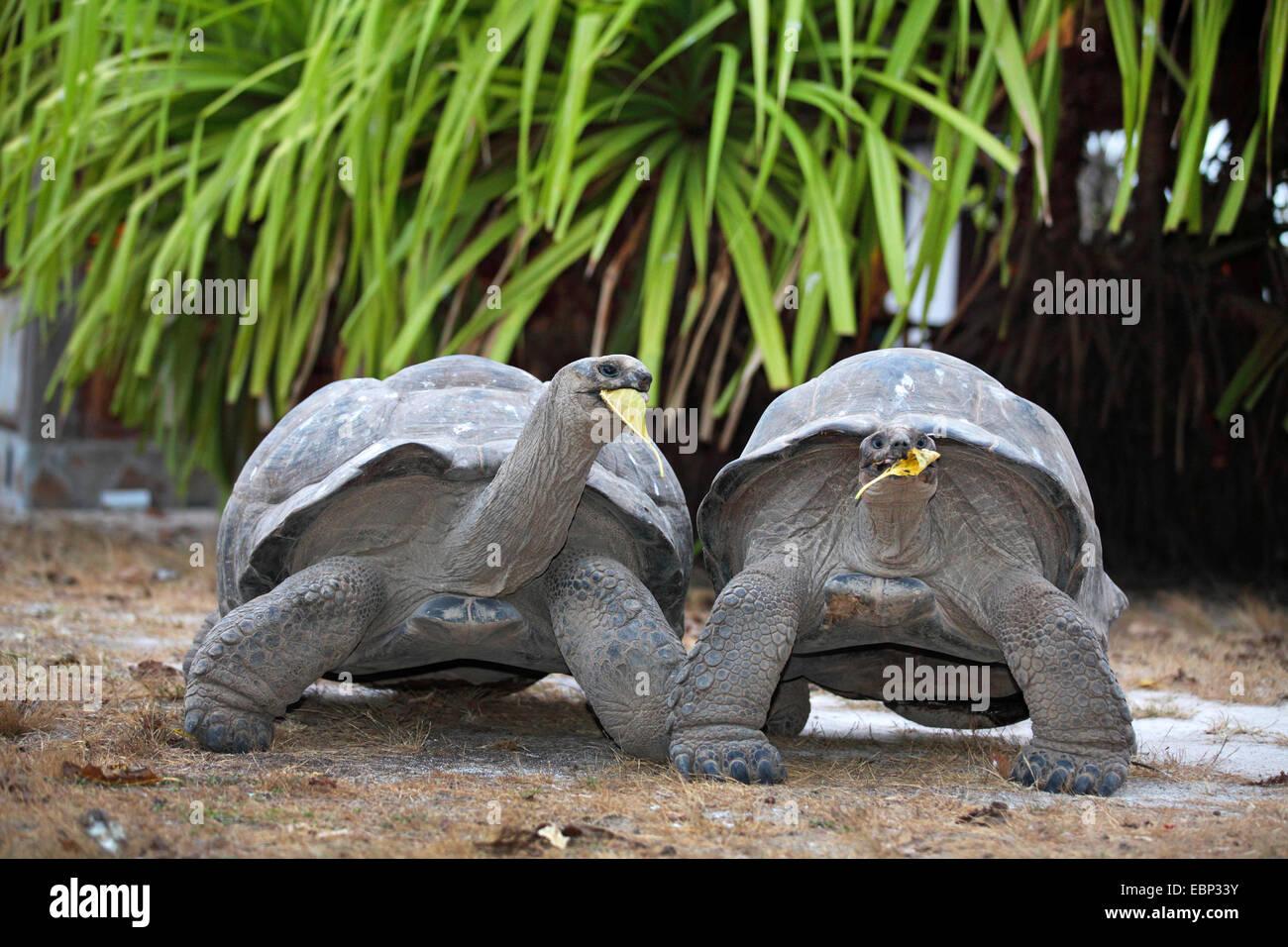 Seychelles giant tortoise, Aldabran giant tortoise, Aldabra giant tortoise (Aldabrachelys gigantea, Testudo gigantea, - Stock Image