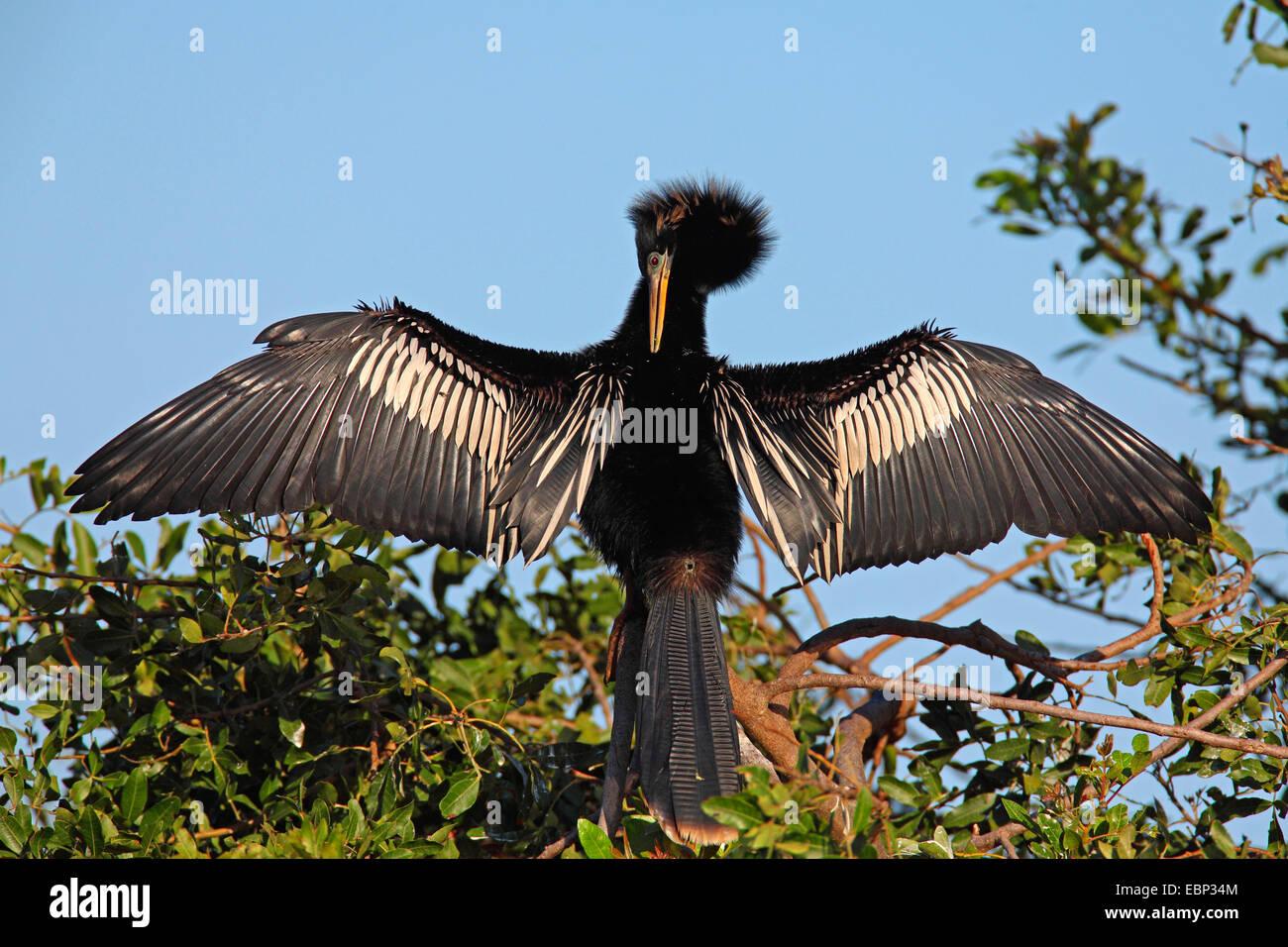 American darter (Anhinga anhinga), male cares of its plumage, USA, Florida, South Venice - Stock Image