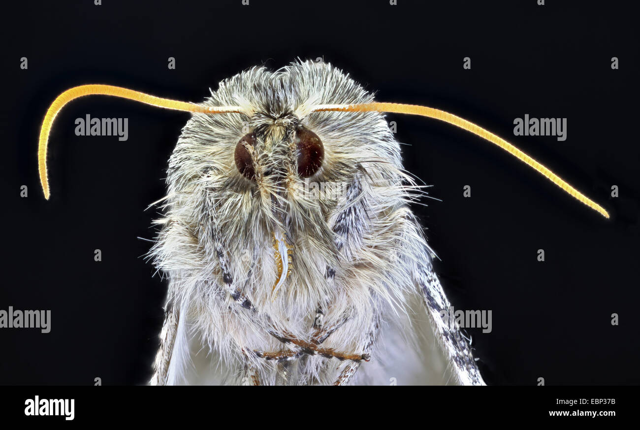macro shot of the head of a moth - Stock Image