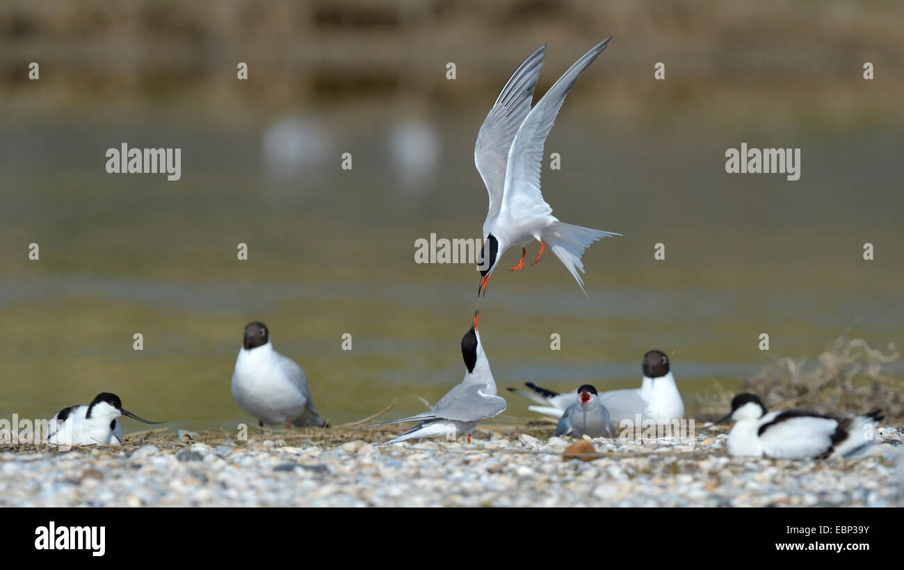 Common tern (Sterna hirundo), terns quarreling for a nesting place in a mixed colony with avocets and a black-headed - Stock Image