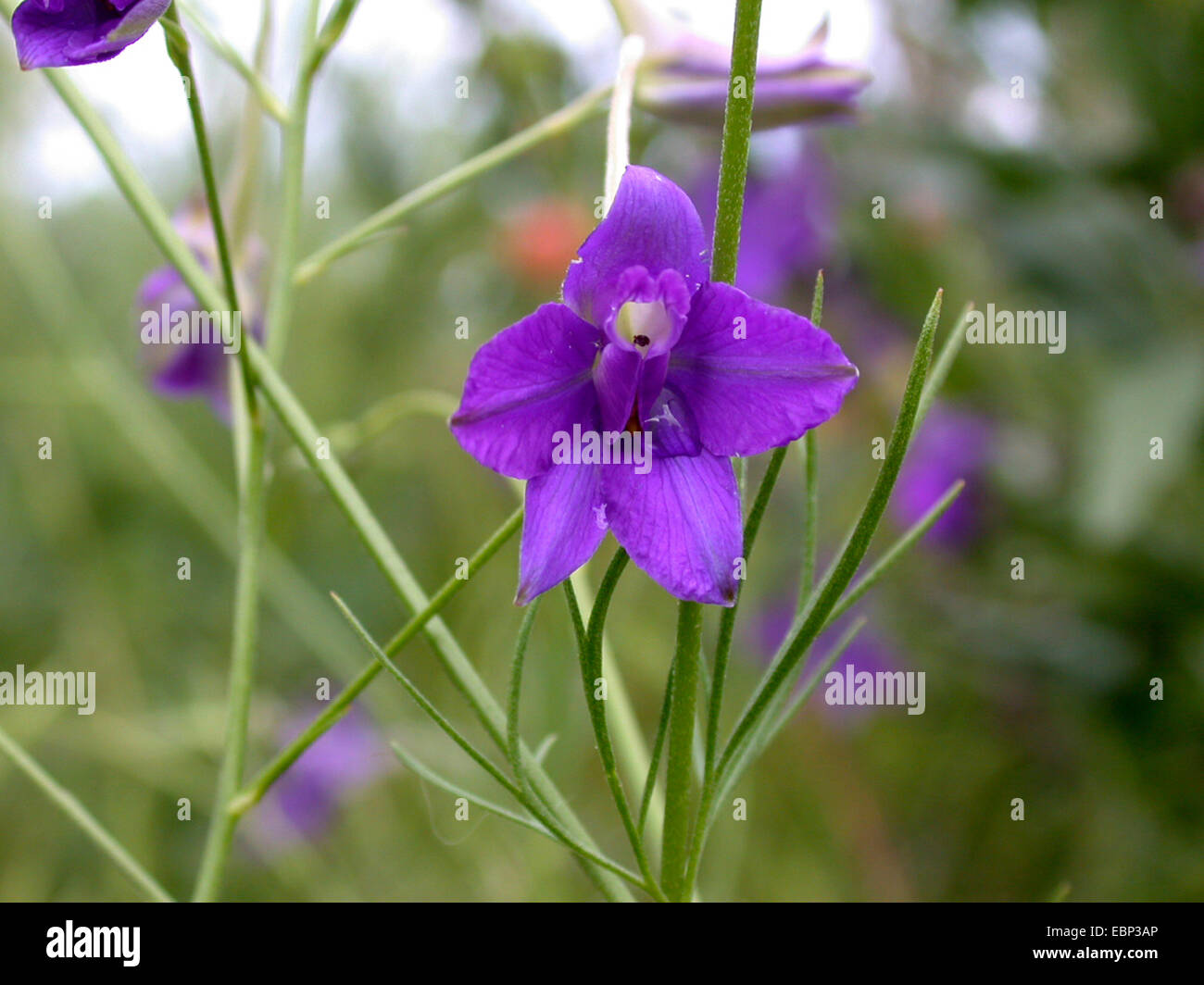 forking larkspur, field larkspur (Consolida regalis, Delphinium consolida), flower, Germany - Stock Image