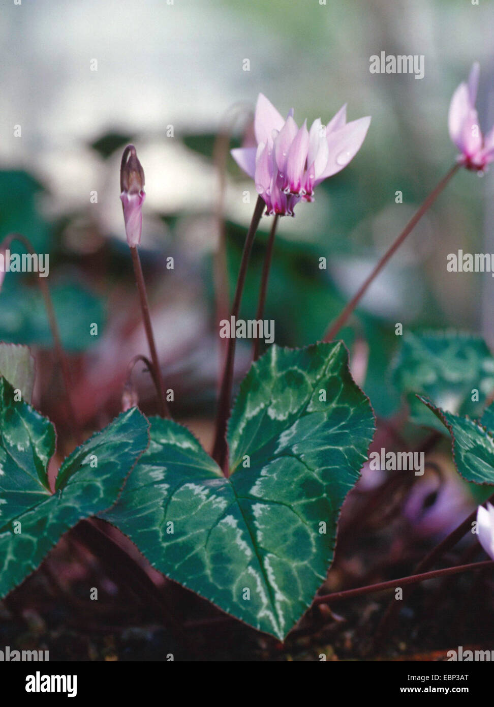 African Cyclamen (Cyclamen africanum), blooming - Stock Image