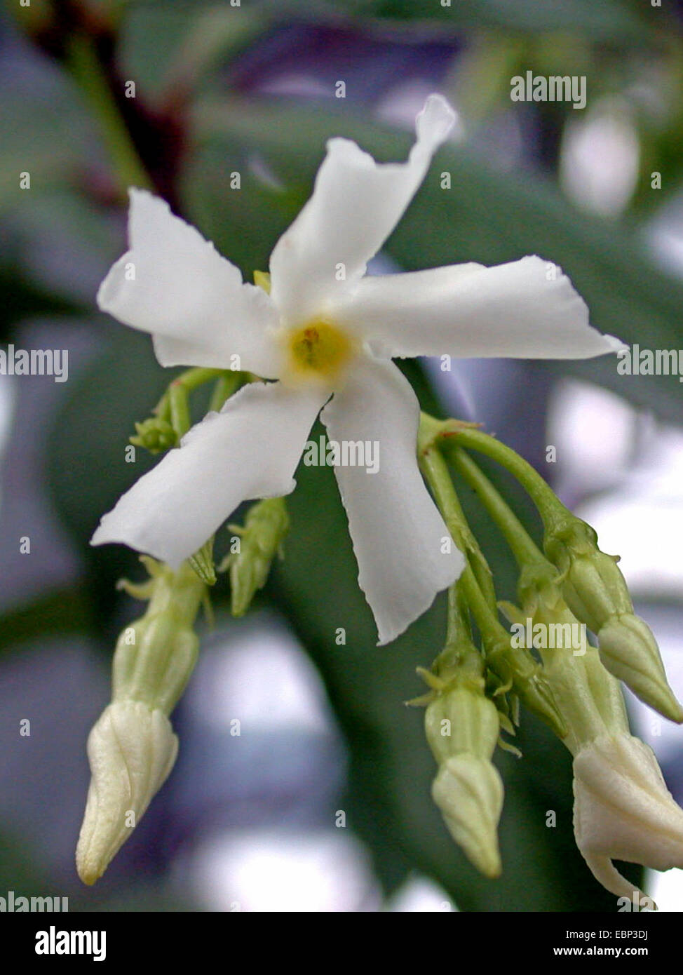 Star Jasmine Trachelospermum Jasminoides Stock Photos Star Jasmine