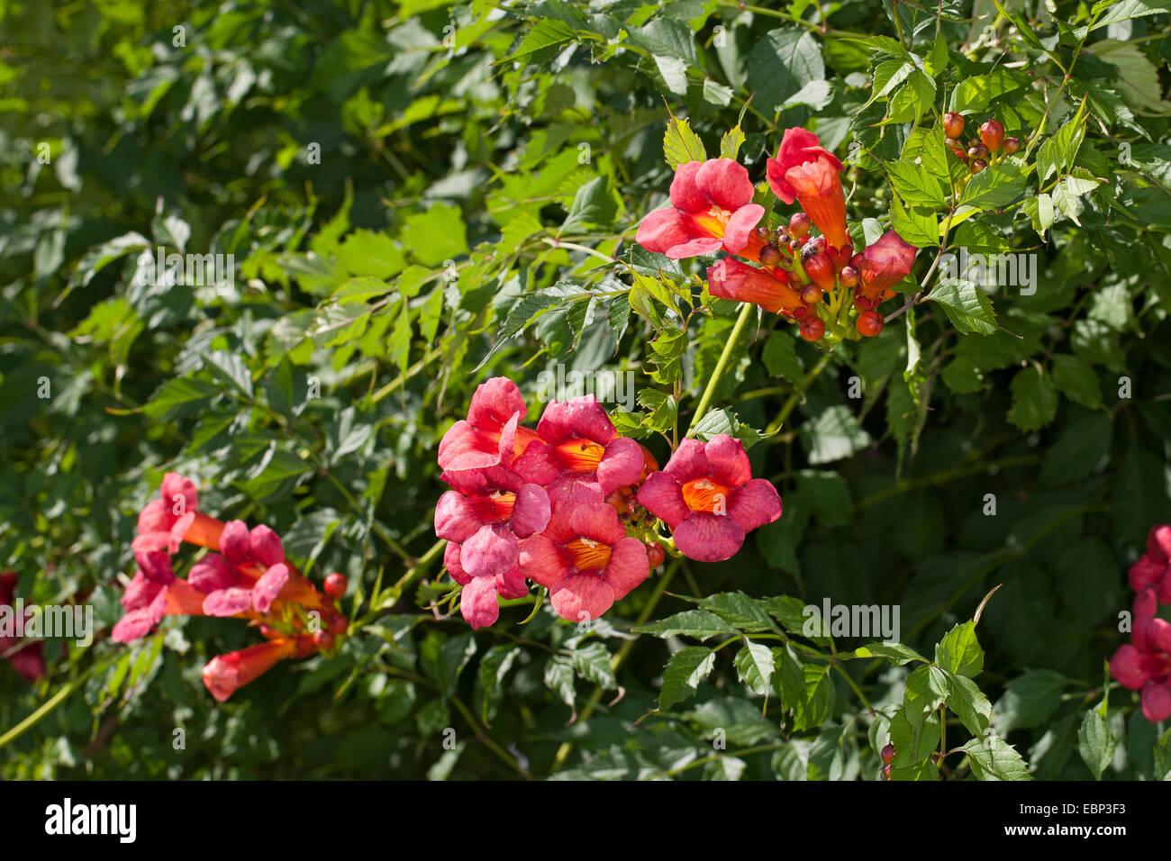 Trumpet creeper, Trumpet vine (Campsis radicans, Bignonia radicans, Tecoma radicans), flowering - Stock Image