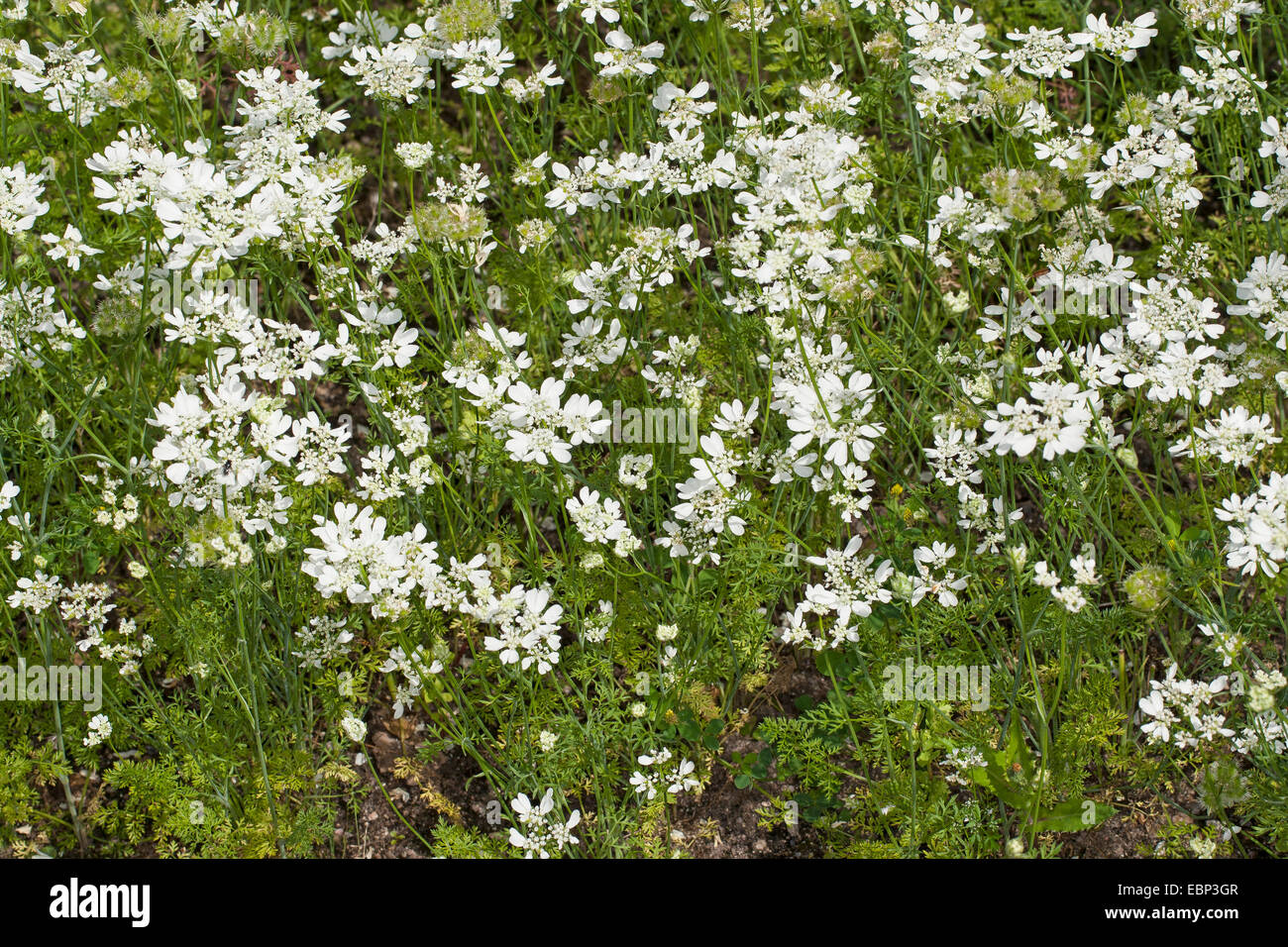 White lace flower, White laceflower, Minoan Lace (Orlaya grandiflora, Caucalis grandiflora), blooming, Germany Stock Photo