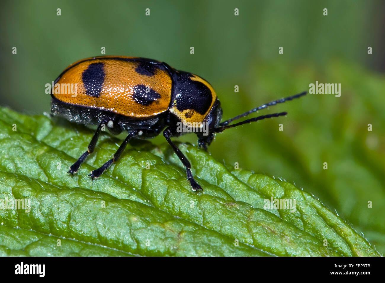 Six-spotted pot beetle (Cryptocephalus sexpunctatus), on a leaf, Germany - Stock Image