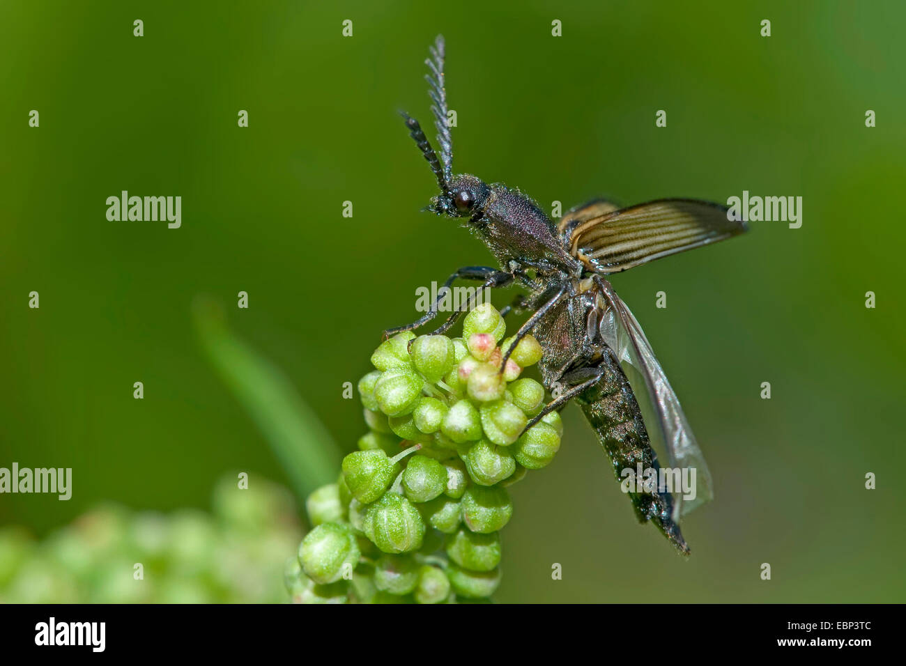 Click beetle (Ctenicera cuprea), on a budding inflorescence, Germany - Stock Image