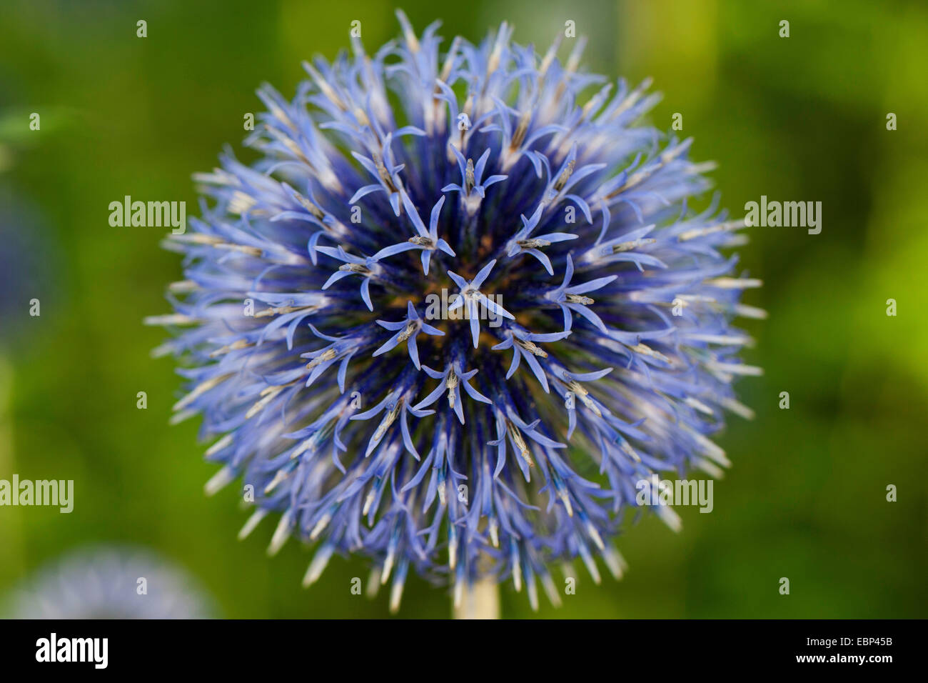 Globethistle, Globe-thistle (Echinops spec.), inflorescence - Stock Image