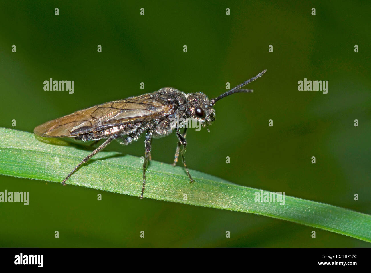 Sawfly (Dolerus spec.), sitting on a blade of grass, Germany - Stock Image