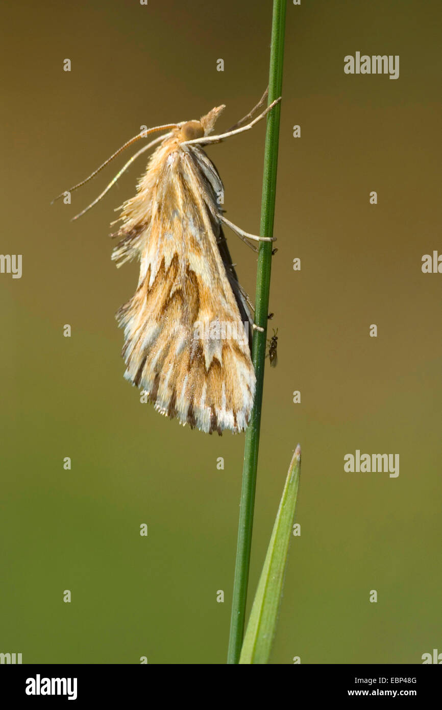 Cynaeda dentalis (Cynaeda dentalis), at a blade of grass, Germany - Stock Image