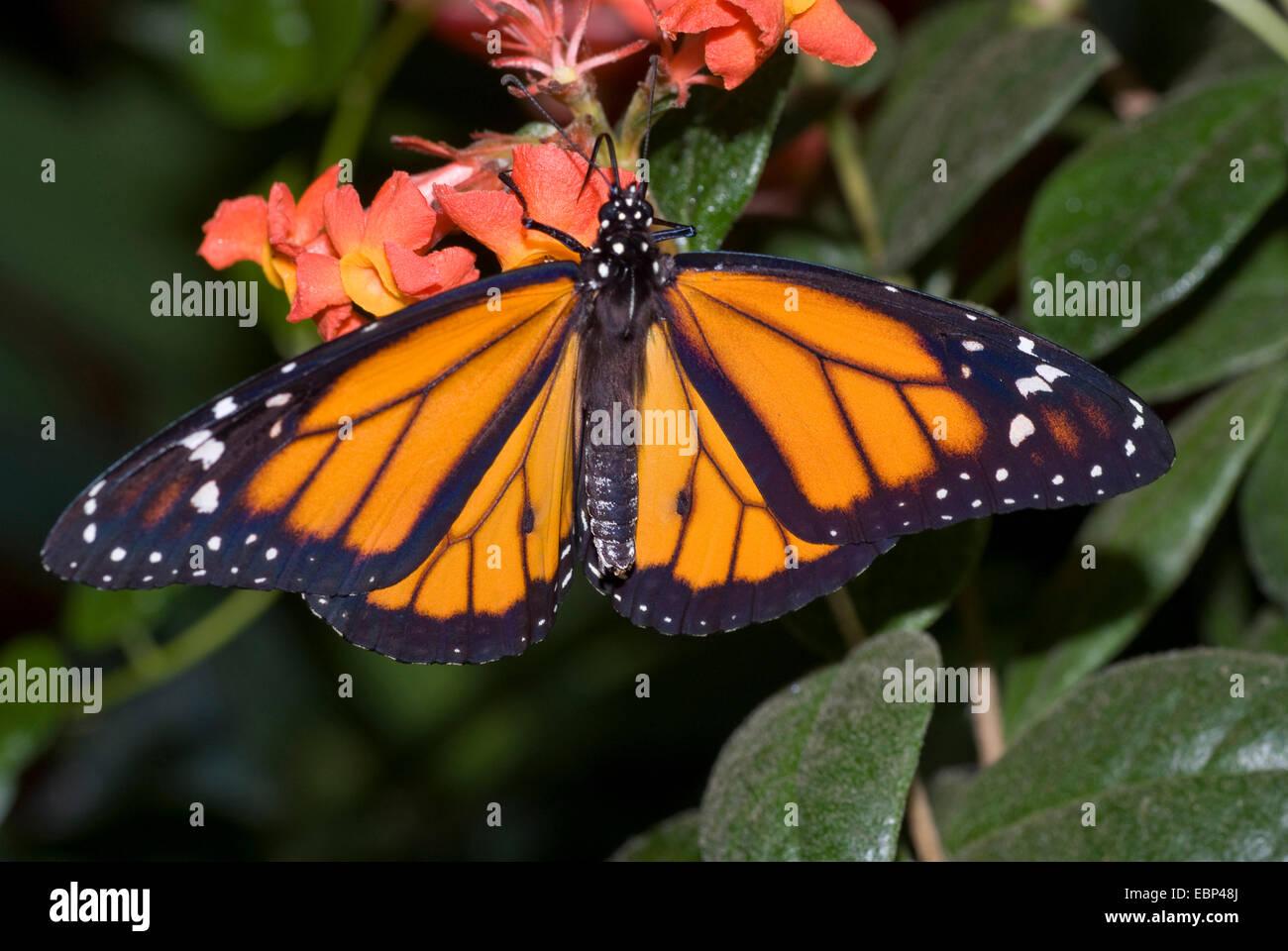 monarch butterfly, milkweed (Danaus plexippus), on orange flowers - Stock Image