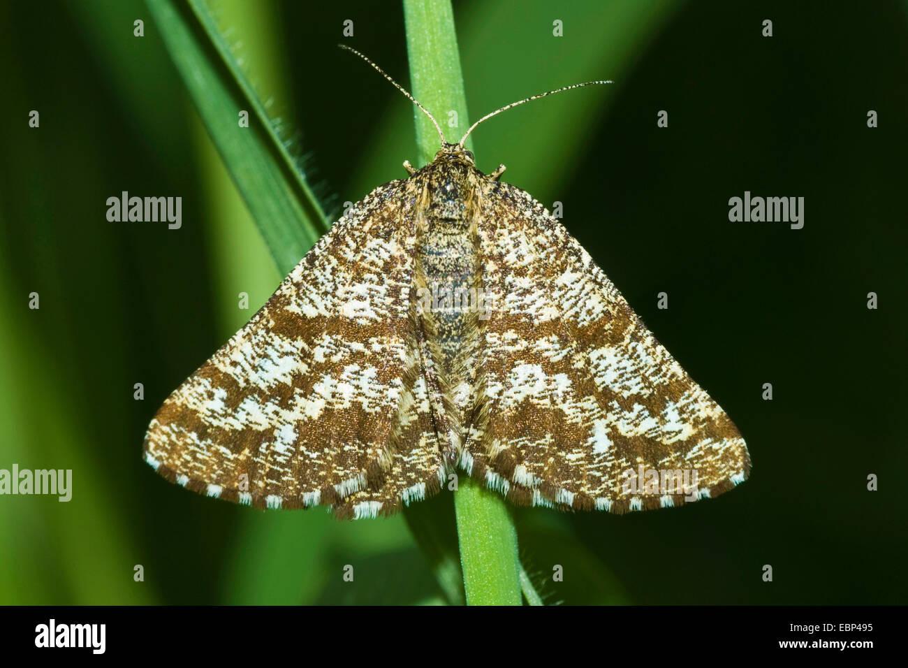 common heath (Ematurga atomaria), on a blade of grass, Germany - Stock Image