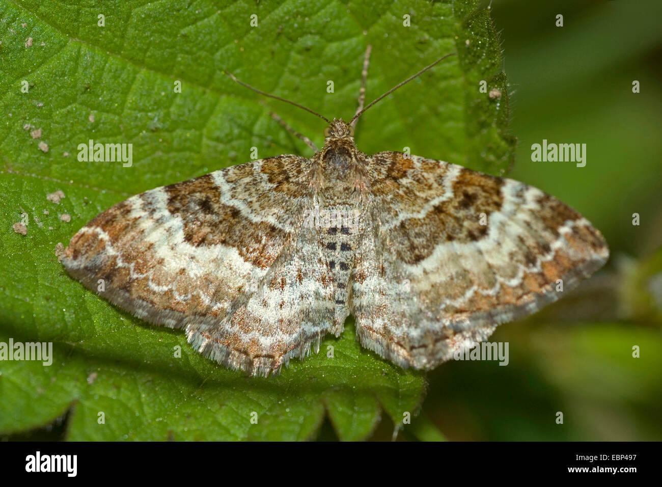 Common Carpet (Epirrhoe alternata), on a leaf, Germany - Stock Image
