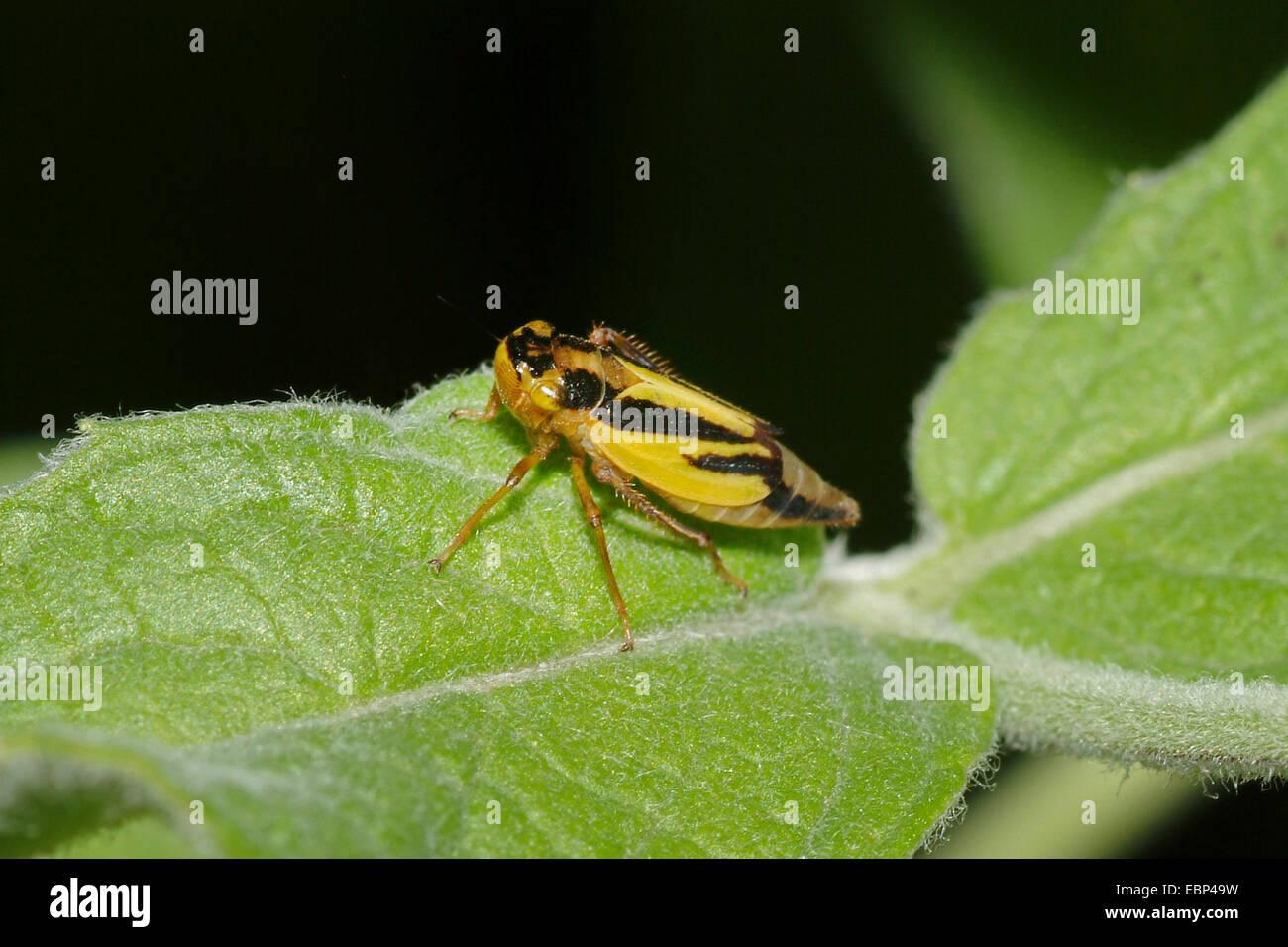 hop leafhopper (Evacanthus interruptus), on a leaf, Germany - Stock Image