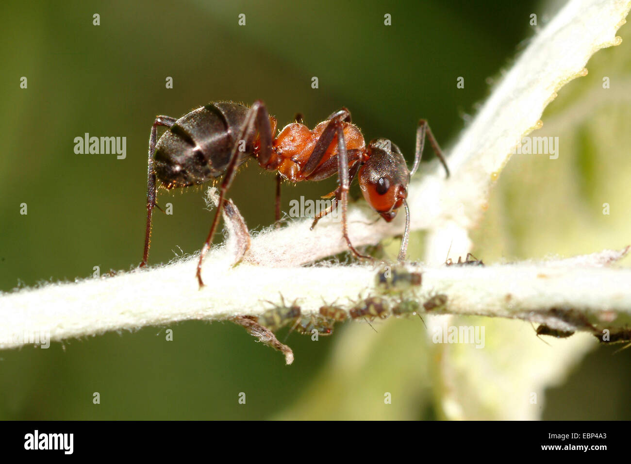 Southern wood ant, Horse ant (Formica rufa), on the hunt for greenflies, Germany - Stock Image
