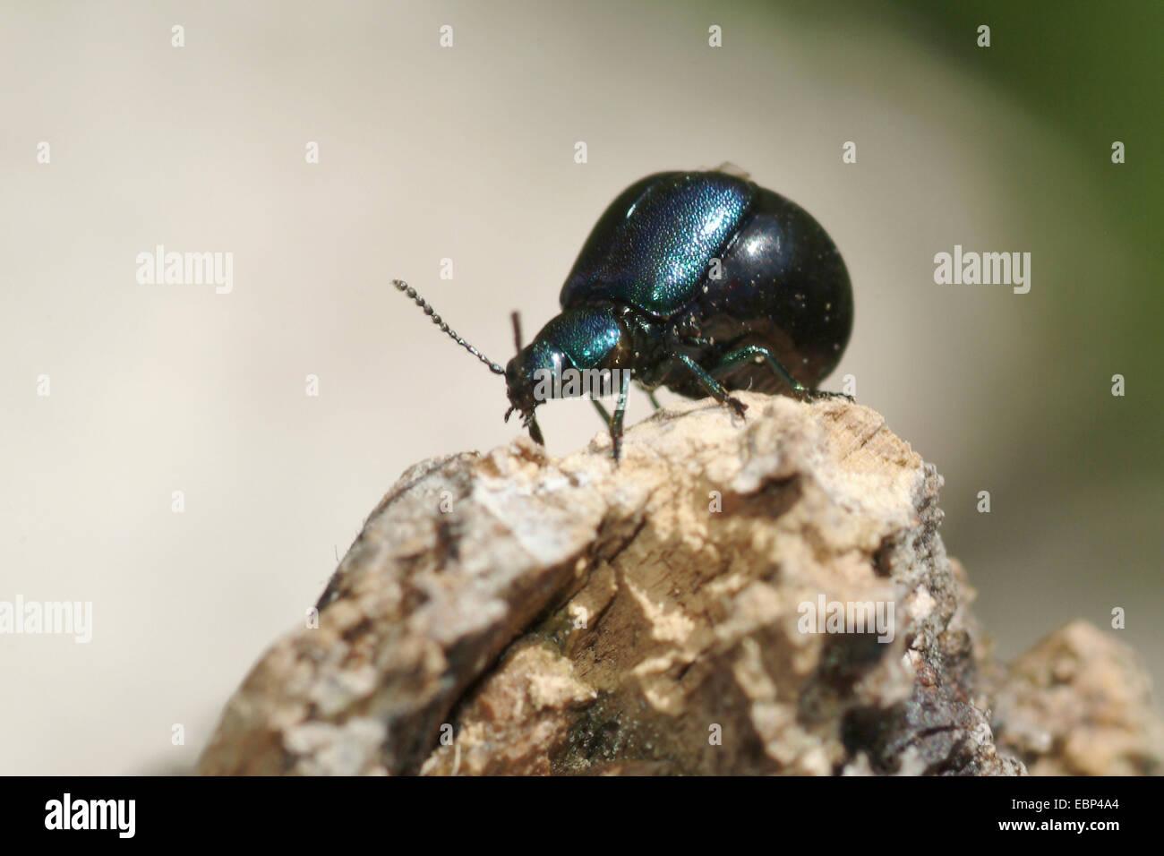 Green Dock Beetle (Gastrophysa viridula), female on a stone, Switzerland, Bernese Oberland - Stock Image