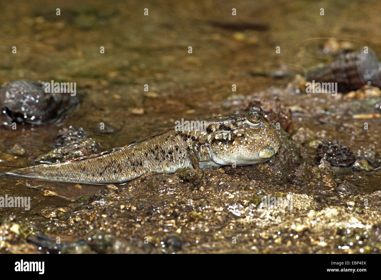 Mudskippers, Mudhoppers, Climbing-fish (Periophthalmus spec.), full length-portrait, Seychelles, Mahe - Stock Image