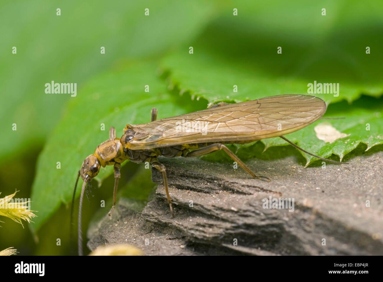Yellow Sally, Stonefly (Isoperla cf. grammatica,), on a stone, Germany - Stock Image