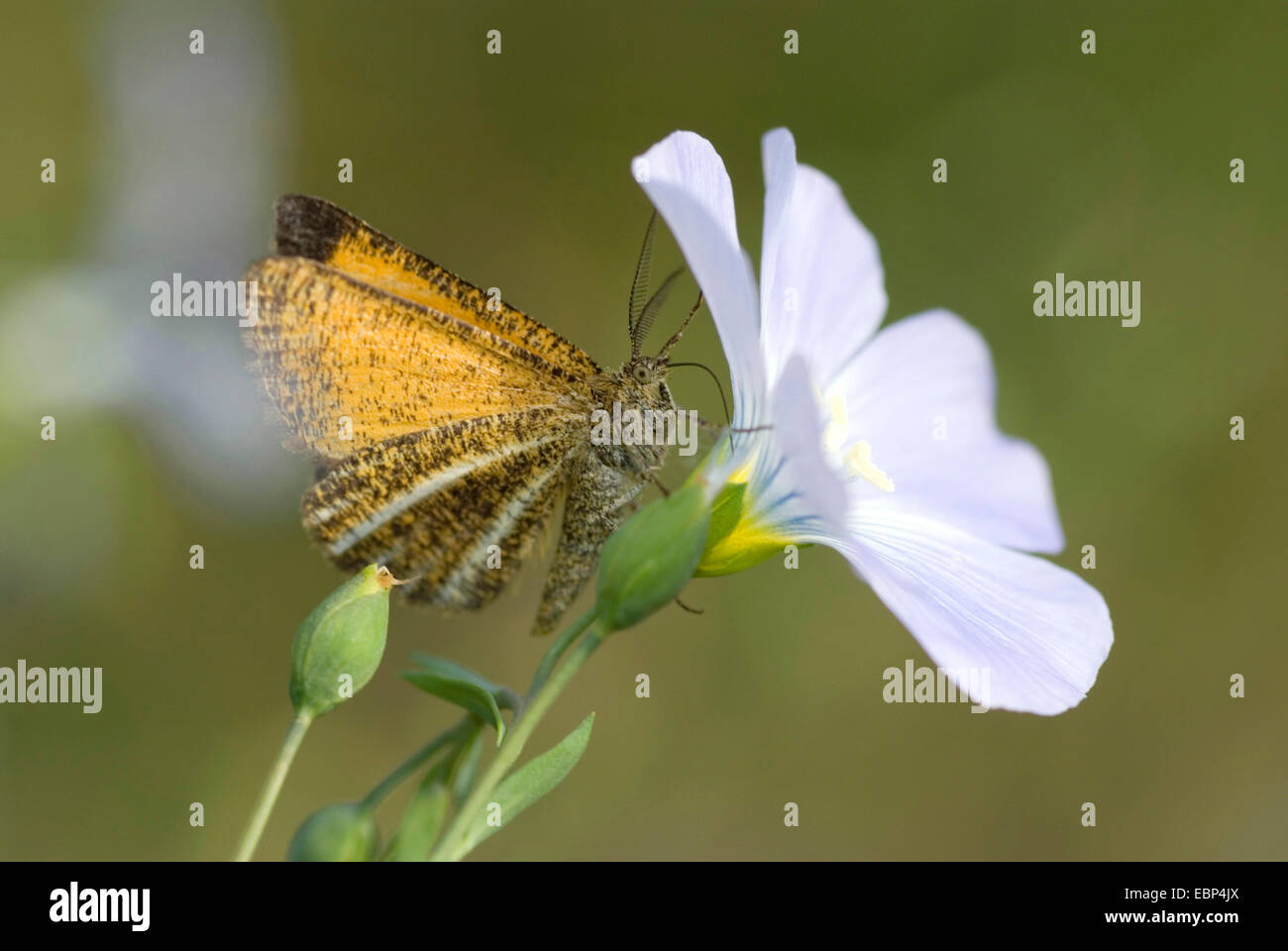 Frosted Yellow (Isturgia limbaria), at flax flower, Germany - Stock Image