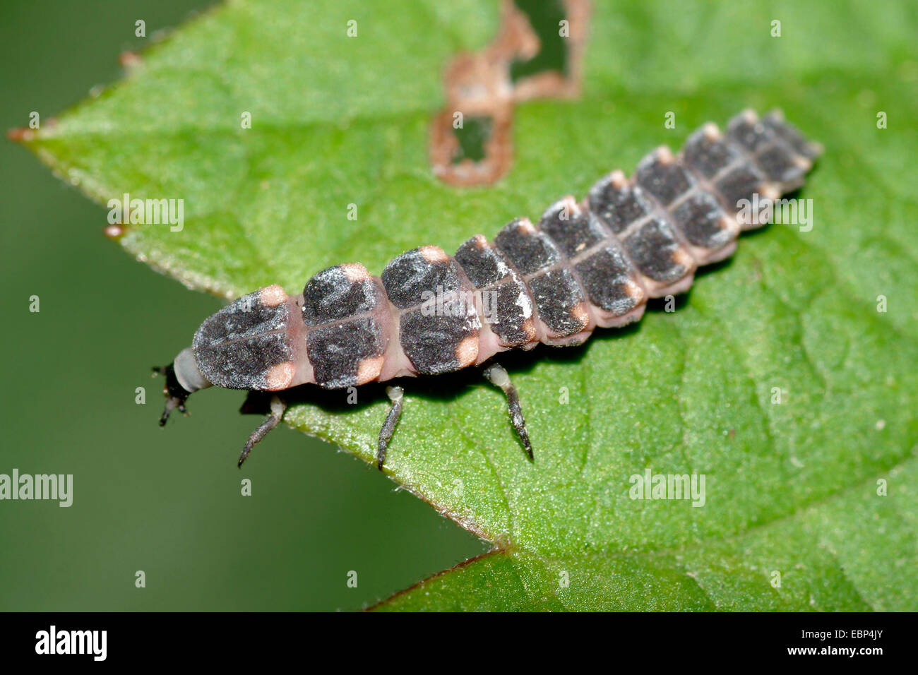 glowworm, glow-worm, great European glow-worm beetle (Lampyris noctiluca), larva on leaf, Germany - Stock Image
