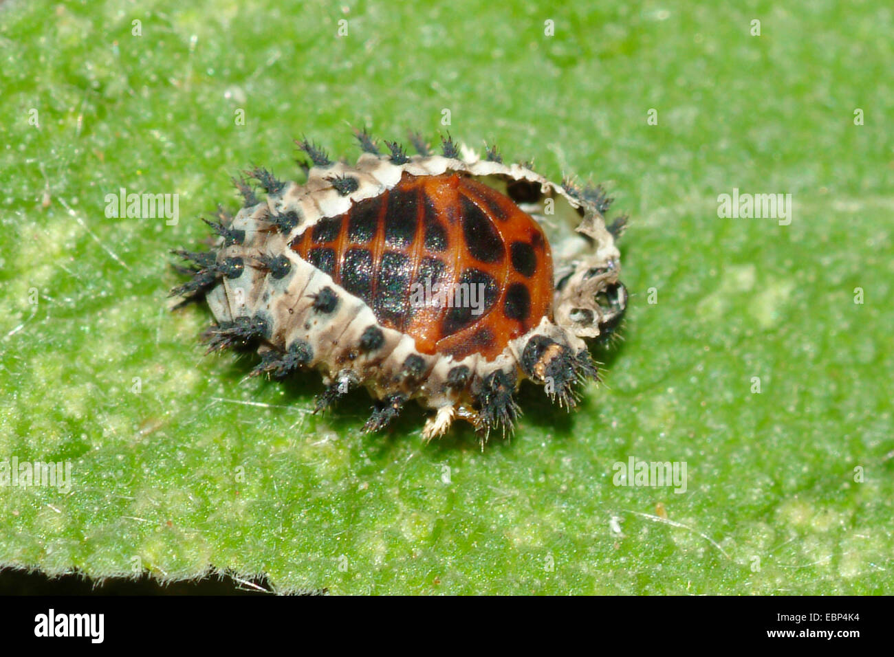ladybirds, ladybird beetles, lady beetles, ladybugs (Coccinellidae), laybird hatching from pupa, Teich Heiligenberg - Stock Image