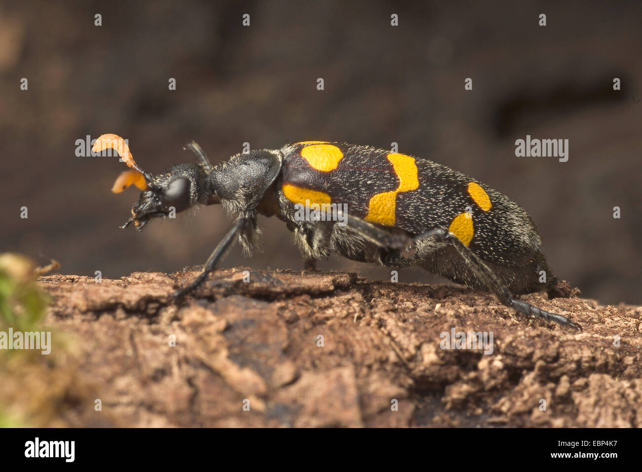 Blister beetle (Meloidae spec.,), on a stone Stock Photo